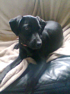 emma is about 6 mos old black lab chihuahua looks like a lab but with