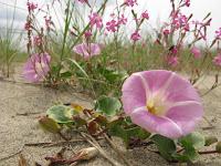 Dune in fiore