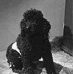 black and white still image of the dog from the black and white film 'The Last Man on Earth' based on 'I am Legend'
