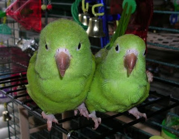 My Pair of Love Birds
