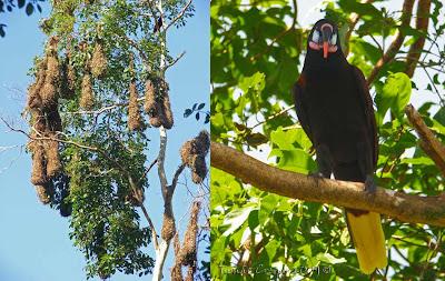 Costa Rica Bird Forum - Forum for Birdwatchers in Costa Rica: 2008