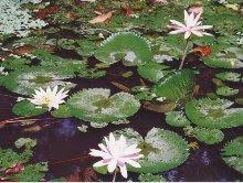 Lotus Pond, Ubud, Bali
