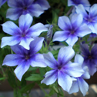 flower blue purple annual phlox drummondii