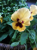 flower orange pansy