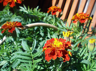 rusty red tagetes marigolds