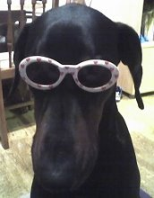 The COOL Bart Doberman