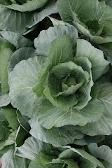 Cabbage at Eicher Farms