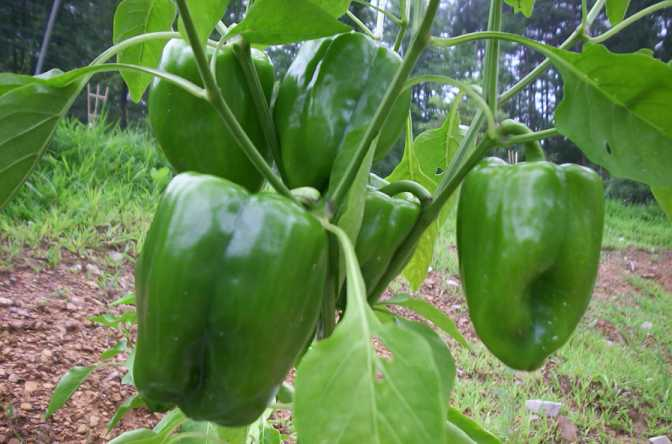 Bell pepper growing in kitchen garden - Planting pepper garden ...