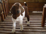 Anak Kambing Gemilang Farm