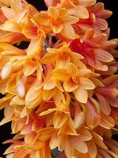 Dendrobium x usitae 'Orange Fire' - © 2009 Greg Allikas