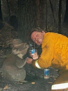 世界のエコ事情 山火事から救出されたコアラ「サム」と「ボブ」