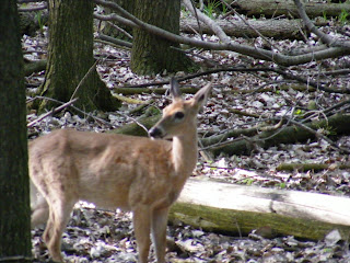 Maumee Bay Deer
