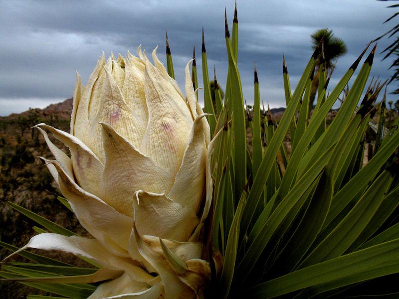 yucca pod; click for previous post