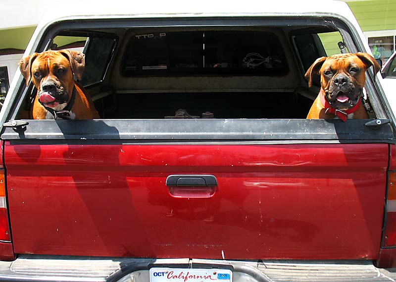 Two dogs in the back of a pickup; click for previous post