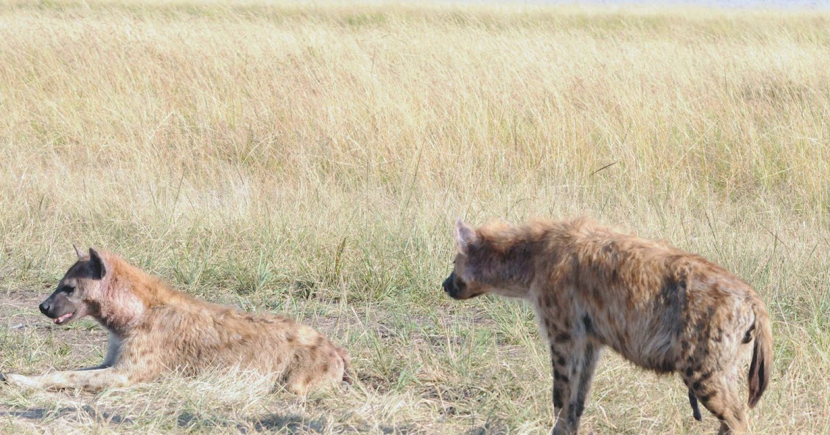 Notes From Kenya: MSU Hyena Research: Courtship -- hyena style