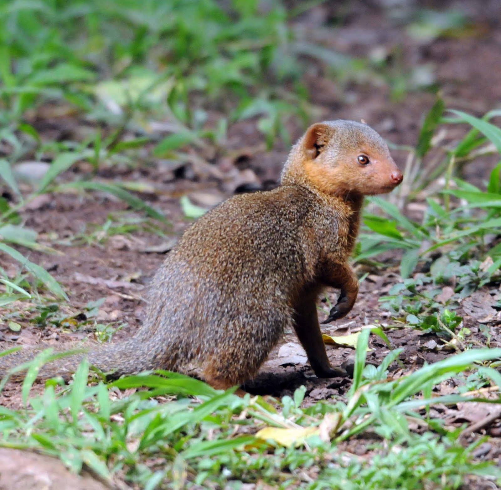 the mongoose : any of numerous long slender carnivorous mammals (family herpestidae) chiefly of africa and southern europe and asia that are usually ferret-sized agile mammals.