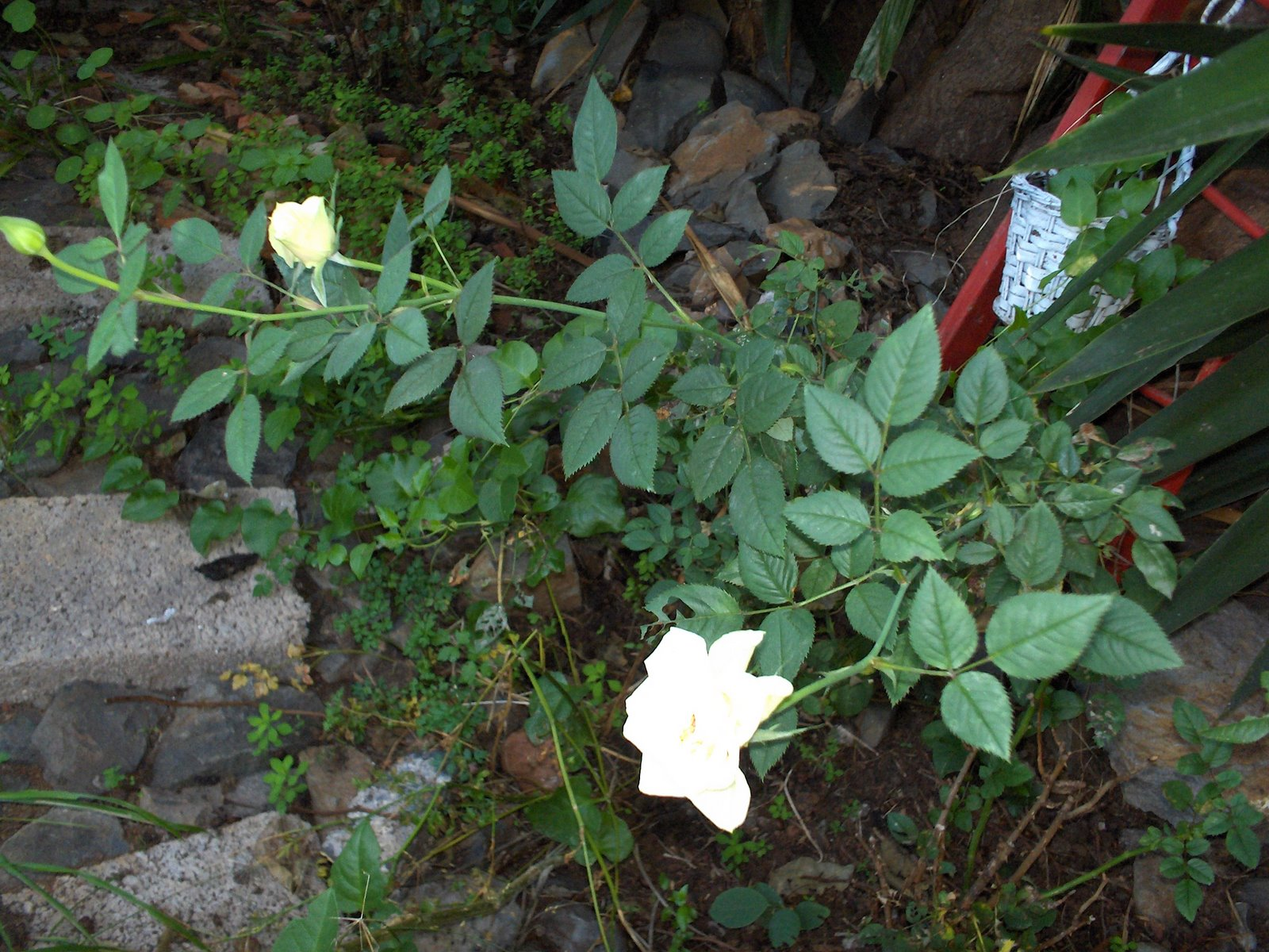 jardim de pedra mini rosa