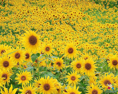 sunflower wallpaper 1024. spring wallpaper 1024 | WallDigger