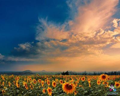 sunflowers wallpaper. Beautiful Sunflower Desktop