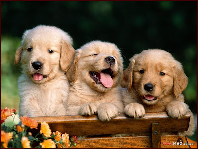 Golden Retriever Puppies - Desktop Picture