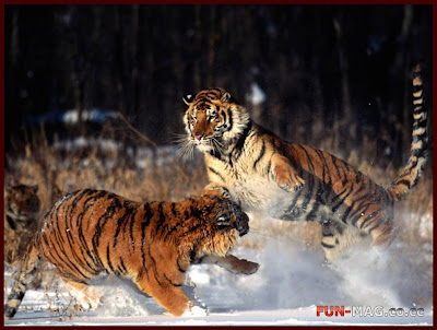 Standing Ground, Tigers, Alaska - Desktop Picture