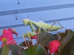 Flower Box Mantis