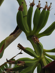 New bananas three days since bloom first started...