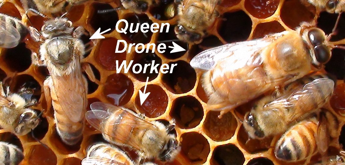 Drone bee vs worker bee - photo#12