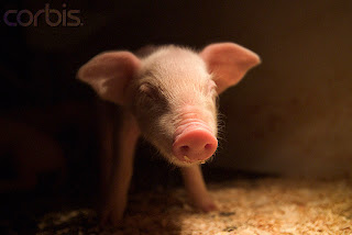 Swine influenza|CDC H1N1 Flu|Swine Flu - Influenza A|MedlinePlus: H1N1 Flu (Swine Flu)|Cara tengok dan kenalpasti barang dari kulit BABI | Koleksi PETUA Tradisional, tips, information of MALAYSIA
