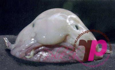 Blobfish | peristiwa pelik, ganjil, weird, mysterious MALAYSIA