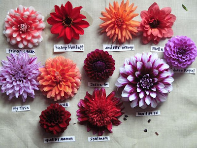 She especially likes the huge 12-14 inch wide dinner-plate dahlias (above). In past years snooty types used to look down their noses at these gargantuas ... & what were the skies like: Dahlias with Frances