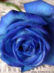 my blue rose...