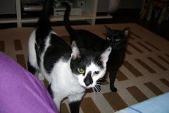Pet Sitter para gatos. João e Miucha, lindos!