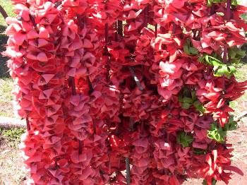 colliers de fleurs d'acacia pour accueillir les visiteurs