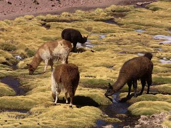 des lamas près de tous les rios et les oasis de l'altiplano