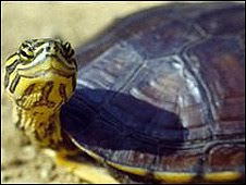 especies de tortugas de agua dulce: