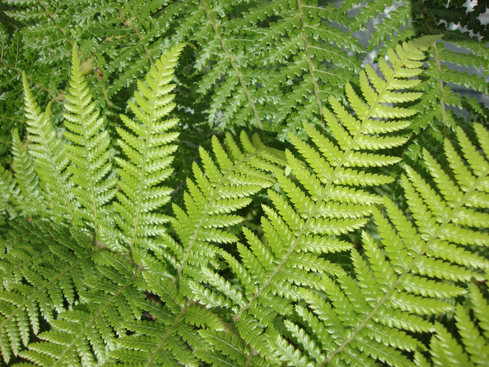 All About Plant Our Dicksonia Antarctica And A Few Local Ferns