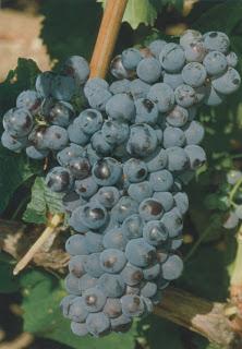 Grenache Noir: Pieds de vigne.