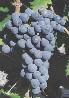 cabernet franc, varieades de vid