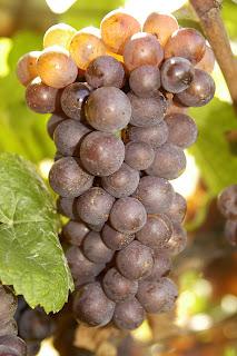 pinot gris viticultura