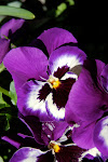 pansies in the planter