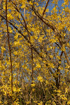 April forsythia