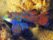 Mandarin Fish of Palau (mandarinfish palau )