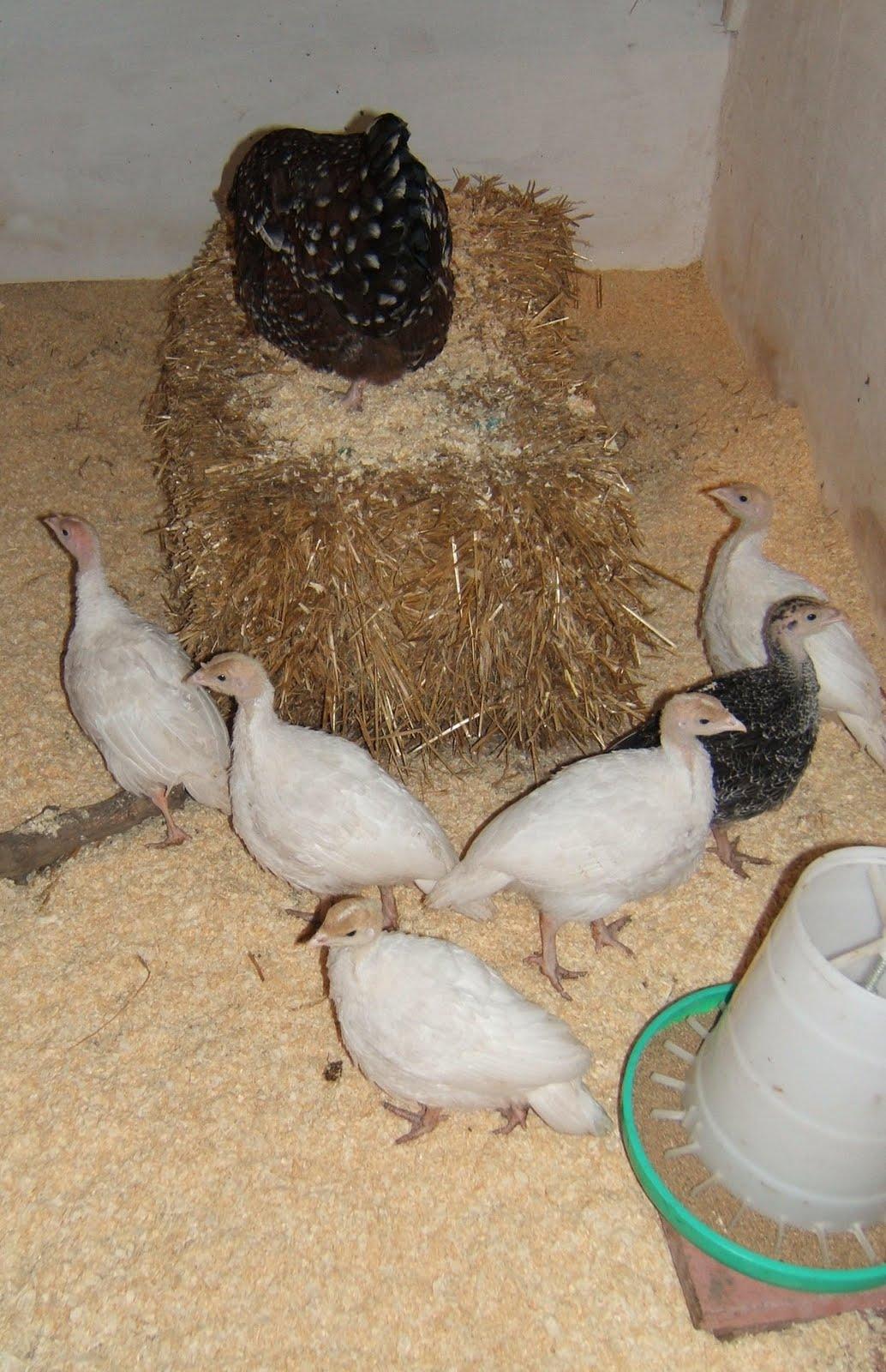Turkey Poults - 6 weeks: http://bellecrosshens.blogspot.com/2010/07/turkey-poults-6-weeks.html