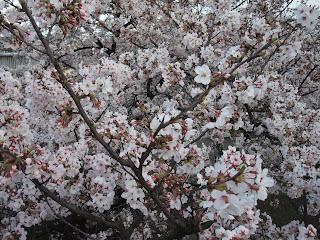 水晶橋の上から桜
