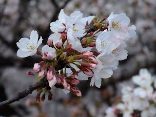 水晶橋の桜