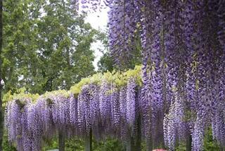 Piante creare giardini cura dei fiori consigli for Tende lilla glicine