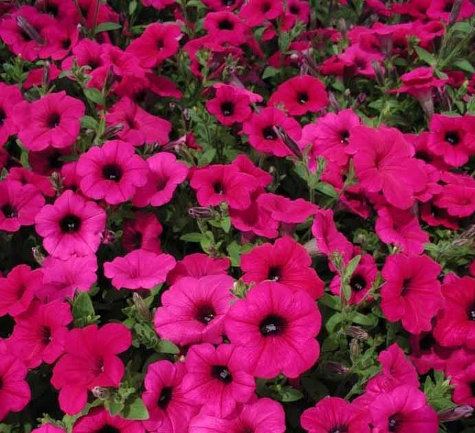 Piante creare giardini cura dei fiori consigli for Petunie inverno