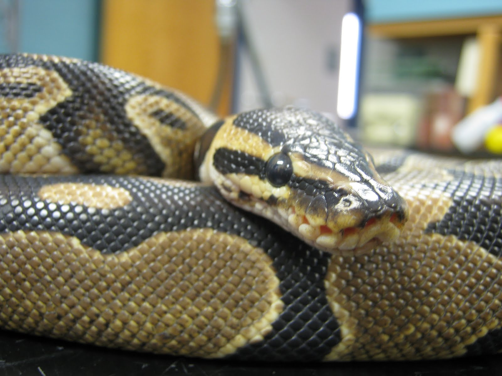 ball python Find and follow posts tagged ball python on tumblr.