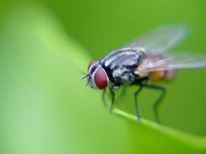 Ternyata Lalat Sangat Bermanfaat Bagi Kehidupan
